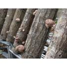 Мицелий для выращивания грибов шиитаке 1кг.