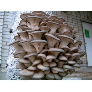 Мицелий для выращивания  ВЕШЕНКИ 1КГ (в упаковке 3-3,5кг)