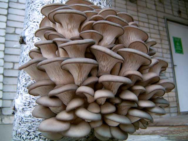 Вёшенка[1] (лат. Pleurotus) — род грибов семейства Вёшенковые, или Плевротовые (Pleurotaceae).  Развивается на субстрате из неживых растительных остатков, из которого способен усваивать целлюлозу и лигнин. В природе растёт на стволах засохших деревьев.  Существуют технологии промышленного разведения вёшенки на древесных опилках, соломе злаков, известны любительские технологии разведения грибов на шелухе подсолнечника.  Грибница (мицелий) вёшенки поддаётся хранению. Есть компании, продающие её для огородных хозяйств.  Важная особенность грибов этого рода — простота выращивания и высокая урожайность. Их несложно вырастить в домашних условиях.